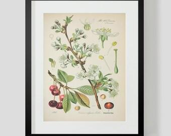 Botanical Cherries Print Plate 395