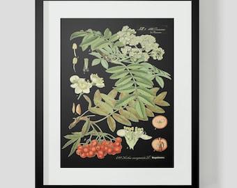Botanical Cranberries Print Plate 422 Black Background