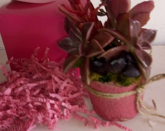 Broad Leaf Succulent Planter Gift.  Living and Growing Plants.  Pretty Pink, purple, burgundy assortment.