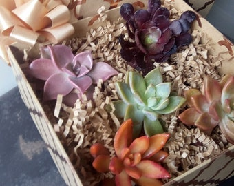 Fancy 5 succulent cuttings gift box bright color variety party favor gift baby shower wedding favor birthday anniversary