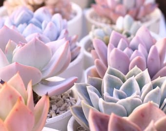 Shades of 10 Pale succulent cuttings starts plants living growing pale colors