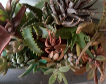 INDOOR loving succulent starts..inside year round living growing cuttings