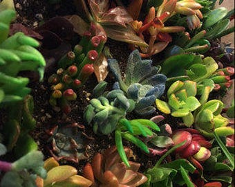 FRESH 90....living growing succulent starts succulent cuttings in a variety of shapes and plant colors