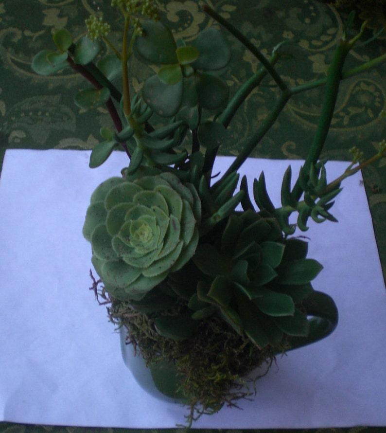 Growing Cup of Living Growing Succulent Plants Arrangement