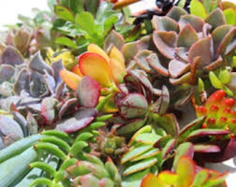 STRONG 40...living growing succulent starts succulent cuttings in a variety of plant colors plant shapes
