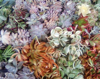 AWESOME 80...living growing succulent starts succulent cuttings in a variety of plant colors and plant shapes