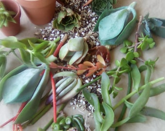 Super 8...living succulent cuttings succulent starts in a variety of plant colors and plant shapes
