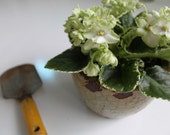 Rare White and Green Variegated Violet in Ceramic Pot