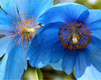 Blue Tibetan Poppies 8x10 Fine Art Photograph