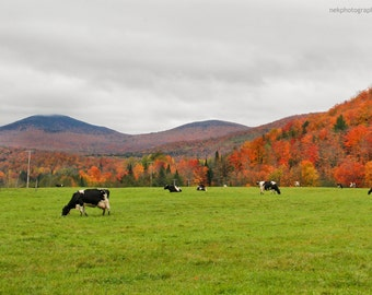 Holsteins Grazing admist the Green Mountains Print