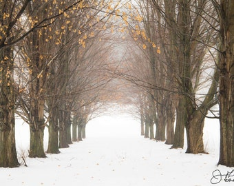 Row of Snowy Maples Print