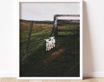 Sheep | Fine Art Photography | Color Photograph | Travel Photograph | Wall Art | Animal Lover | Scotland | Isle of Skye | Multiple Sizes