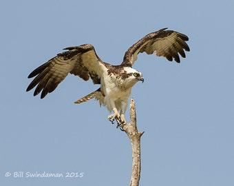Florida Everglades Osprey Landing