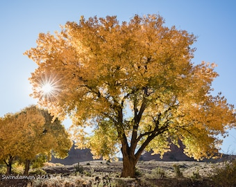 Arizona Fall Foliage Cottonwood Tree with Sunstar