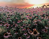 Echinacea Field at Dusk...