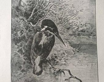 Kingfisher Bird Antique Print Illustration, Noir Bird Design, Black Bird Decor, Antique Book Illustration, Ready to Frame, Kingfisher Bird
