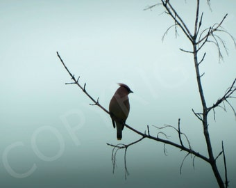 Print or Greeting Card Silhouette Fog Cedar Waxwing Bird Nature Photography Woodland Ornithologist Minimalist Wall Art
