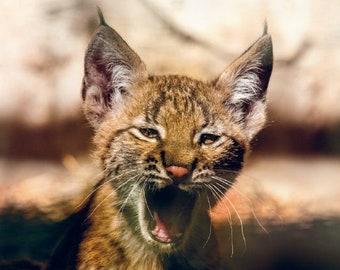 Postcard. The Eurasian lynx cub photo for Postcrossing fans. Fine art silly wild cat photo