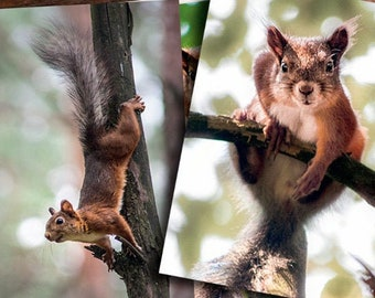 Squirrels in forest postcards. Post card  for Postcrossing fans. Fine art photo or Canvas Print