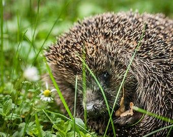 Hedgehog  Postcard - Fine Art Photograph - Post card for Postcrossing