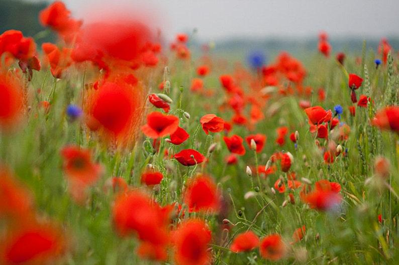 Poppy Flower Postcards Fine Art Photograph for Postcrossing