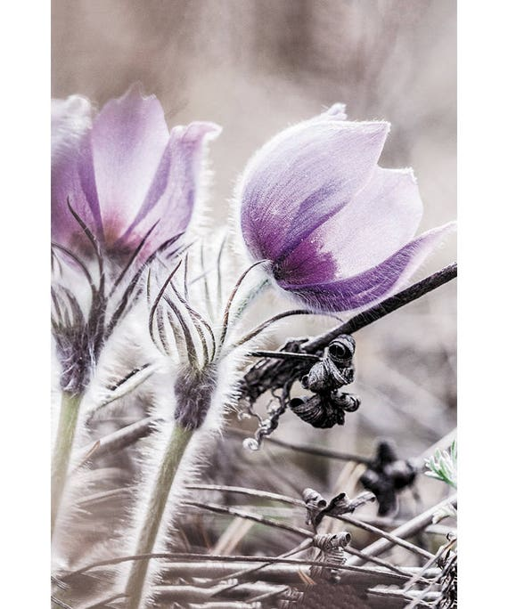 67634988d3e4 Pasqueflower Fine Art Photograph greeting cards. Pulsatilla