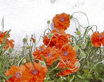 Beautiful Poppies - 4x15 Fine Art Photograph