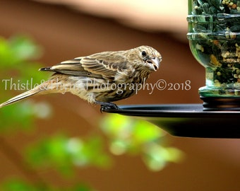House Finch Photographic print - 5x7 matted art print