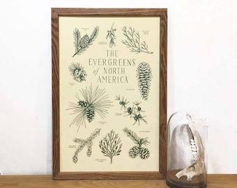 Evergreens of North America Art Print | Tree Art | Botanical Chart | Educational Chart