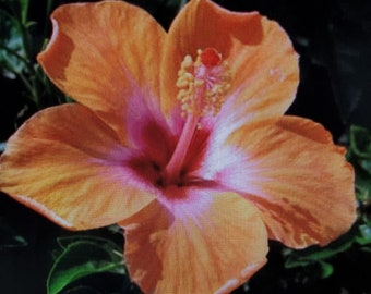 """Hibiscus """"Lagas Orange"""""""