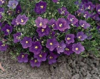 "Nierembergia ""Purple Robe"" .. 50 seeds"