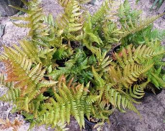 Autumn Fern aka Japanese shield fern  .. gallon