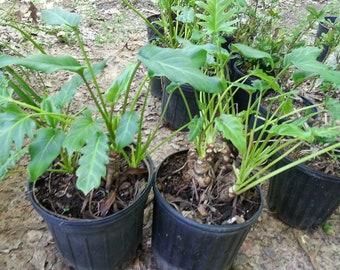 Xanadu Philodendron - 1 gallon