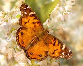 American Lady - Original Photograph 8x10 - Tangerine Tango Orange Autumn Butterfly Outdoors Backyard Garden