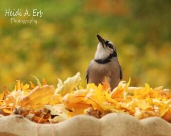 Bird photo card, photo note card, blank card, Wildlife photo card, Bird photography, bird card, Bird Stationary, greeting card, Blue jay