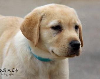 photo card, photo note card, blank card, Dog photo card, Golden lab Retriever, photo, greeting card, Dog note card, puppy, golden Labrador