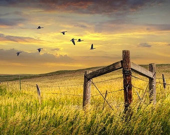 Migrating Canada Geese at Sunset Flying over a Grass Field on the Prairie with a Fence, Fine Art Landscape, Bird Photography, Wall Decor Art
