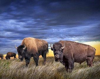 Buffalo Herd on the Prairie at Sunset, American Buffalo Photo Print, Western Art, Bison Wall Decor, Fine Art Photograph, Western Landscape