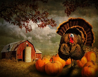 Thanksgiving Turkey among Orange Pumpkins in Autumn on a Farm with Red Barn No.10142 - A Fine Art Domestic Bird Holiday Photograph