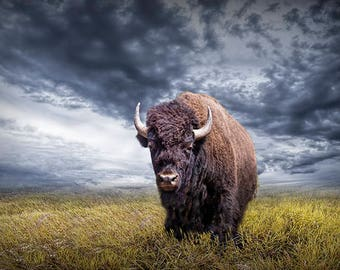Photo of a Buffalo in Yellowstone National Park in Wyoming, A Fine Art Western Buffalo Photograph, Wyoming Bison Wildlife Cabin Wall Decor