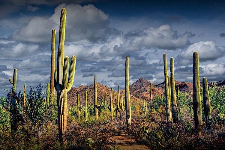 Arizona Saguaro National Park Walking Stick Medallion Cactus and Desert