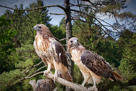 Red Tailed Hawks Red Tailed Hawk Predator Birds Sacred Etsy