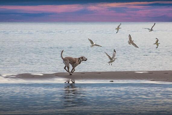 Perro persiguiendo gaviotas playa Sunset Duna de arena | Etsy