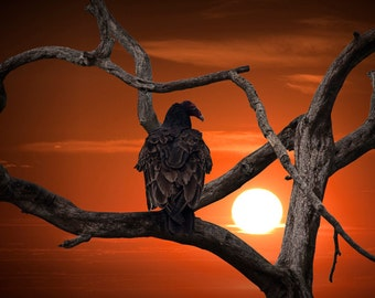 Turkey Buzzard Vulture at Sunset in the Florida Everglades - A Wildlife Bird Photograph