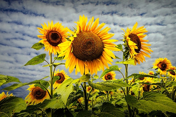 Blooming sunflowers in a field near rockford michigan no236 a etsy image 0 mightylinksfo