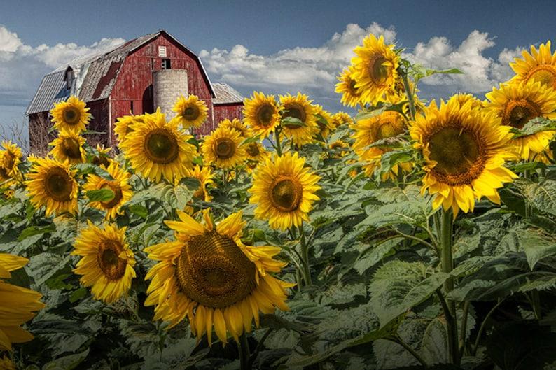 Paesaggio giallo girasoli, campo di girasoli, girasoli dorati, granaio  rosso, cielo blu nuvoloso, Michigan rurale, del fiore fotografia, Michigan