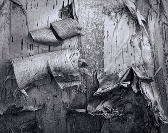 Michigan White Birch Tree Bark Close-up Abstract Art Image No.863 A Black and White Fine Art Abstract Photograph