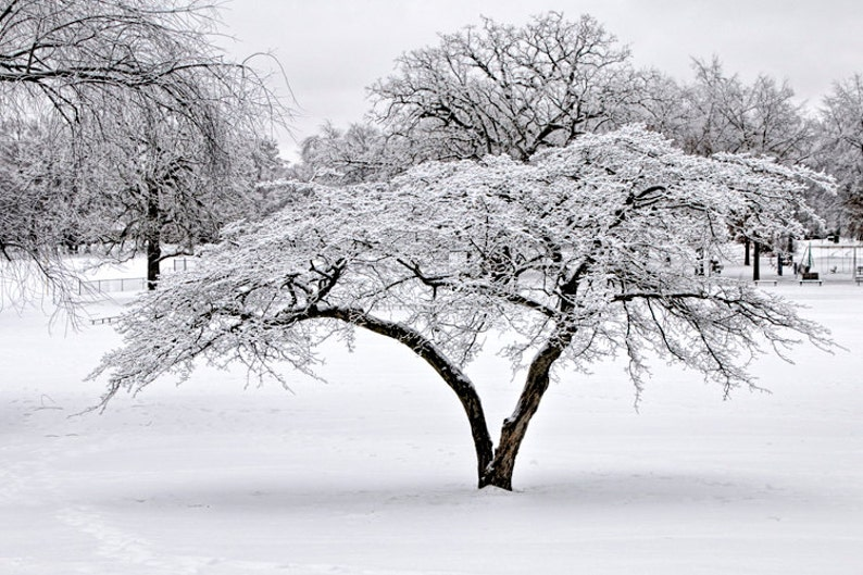 City Park Trees in White with Snow covered Branches in Garfield Park Grand Rapids Michigan No.0996 A Black and White Fine Art Photograph