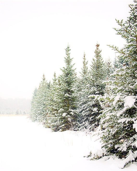 Fine art Photography print, snow scene, evergreens, winter, pines, 8 inch wide x 10 inch tall print, 11x14, 16x20