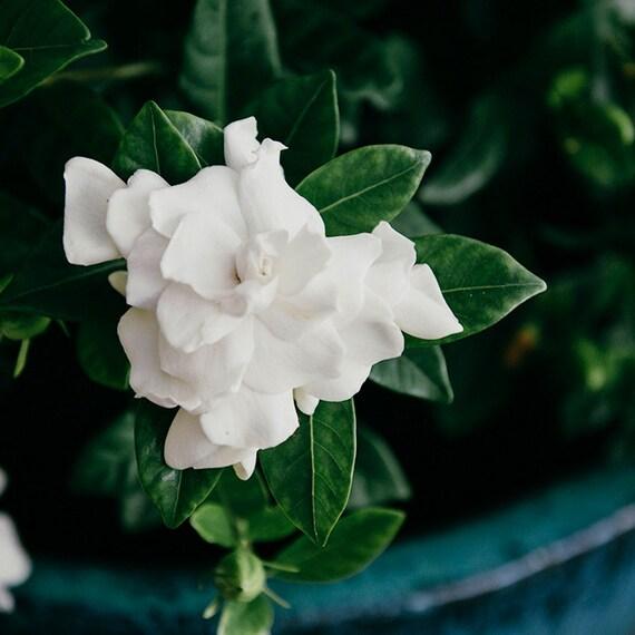 Gardenia Photo,  Botanical Image, Art, Photography, Wall Art, Garden Scene, Classic Home Decor, Turquoise and White Print, Fine Art Print